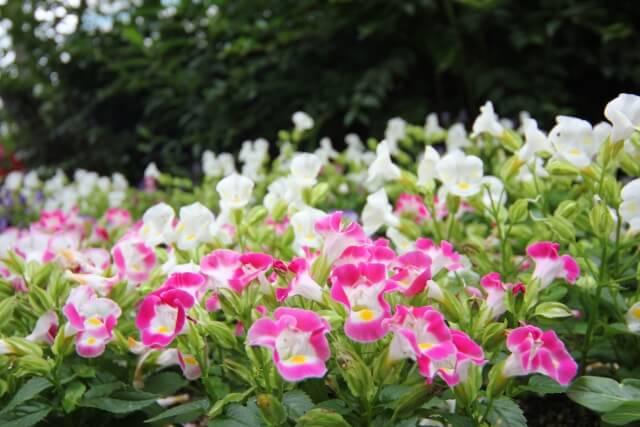 トレニアの育て方と苗植えの方法【ビギナーでも簡単】