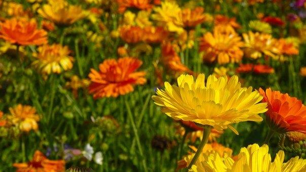 マリーゴールドの育て方と苗植えの方法【ビギナーでも簡単】