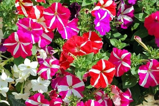 ペチュニアの育て方と苗植えの方法【ビギナーでも簡単】