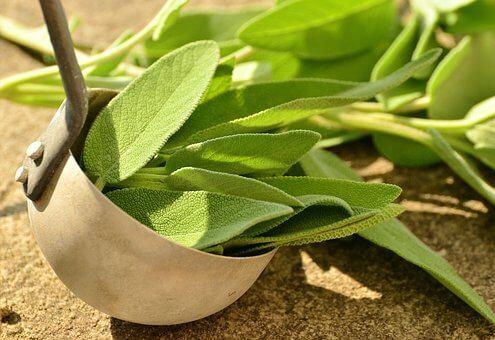 コモンセージの育て方と苗植えの方法【ビギナーでも簡単】