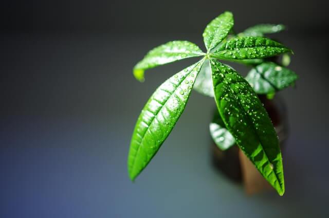 人気観葉植物【パキラ】の育て方とお手入れのポイントまとめ