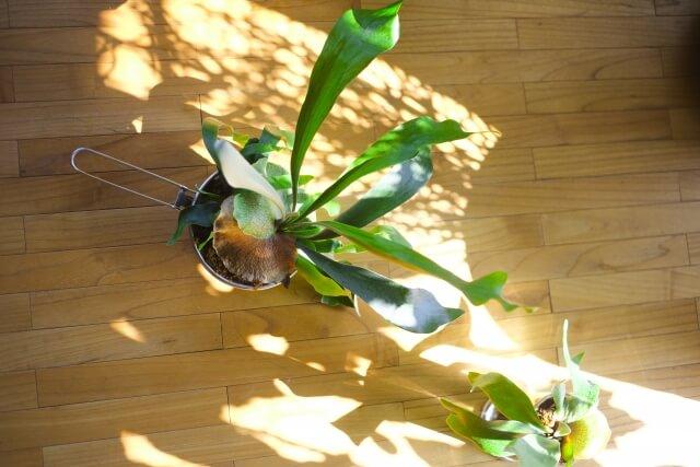 【コウモリランの育て方まとめ】お洒落に空間を演出する人気観葉植物