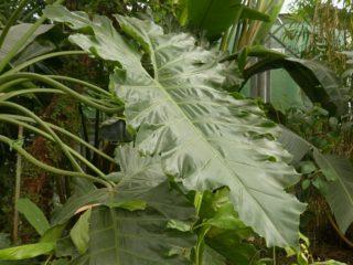 【フィロデンドロンセロームの育て方・増やし方まとめ】自ら起き上がる不思議な観葉植物